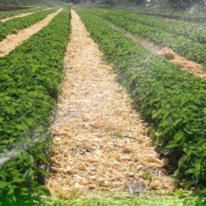 На ягодной плантации